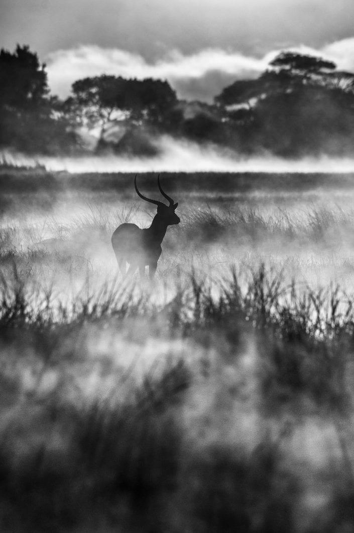 Lone Lechwe - black and white wildlife photography
