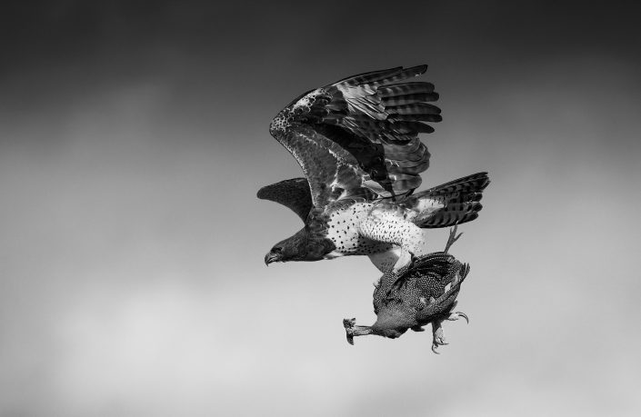 black and white wildlife photography - The Eagle and the Fowl