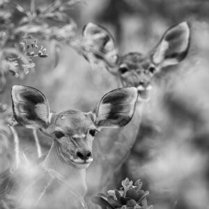 Delta Kudu - black and white wildlife art