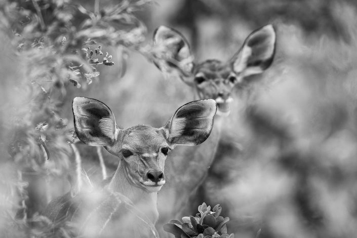 Delta Kudu - black and white wildlife art