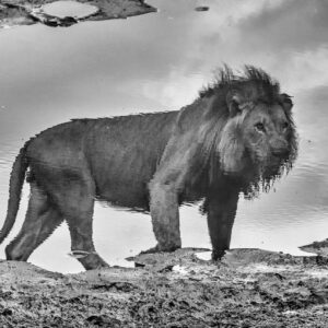 A King's Reflection - black and white wildlife photographer