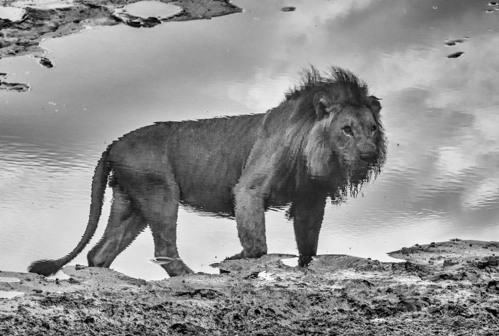 black and white wildlife photographer - A King's Reflection