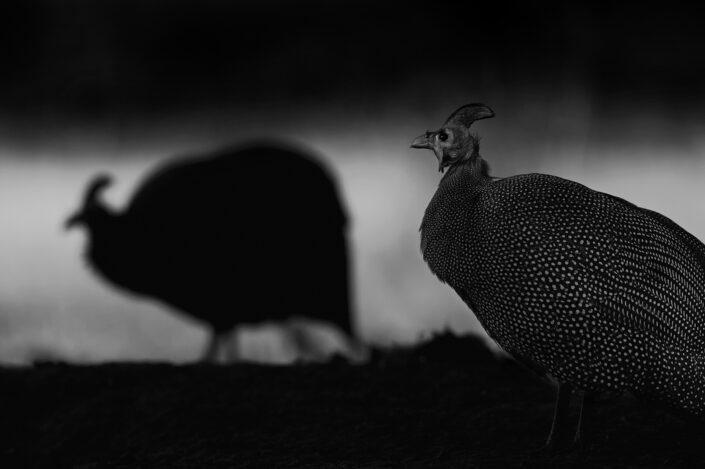 guineafowl photo