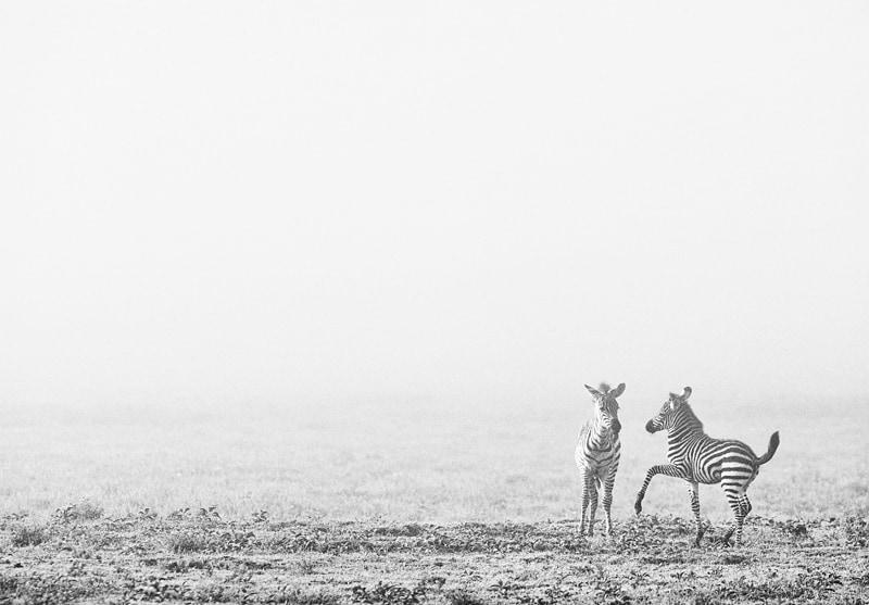 serengeti photo safari - zebra foals
