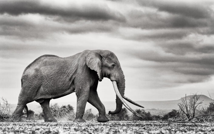 black and white wildlife prints - Tim The Tusker