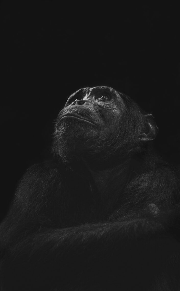 Primate Ponderings - black and white wildlife photographer