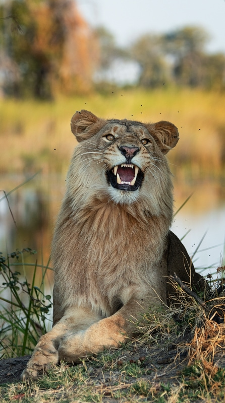 A young lion tries to catch flies - photographed on an Okavango Delta photo safari in Botswana, by African wildlife photographer Greg du Toit.