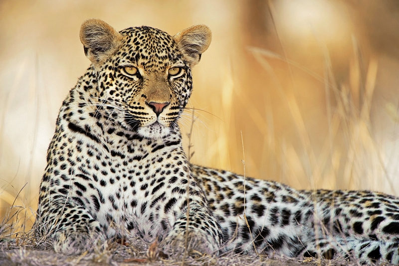 best place to see leopards in africa