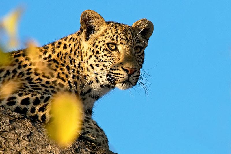 African leopard photography safari