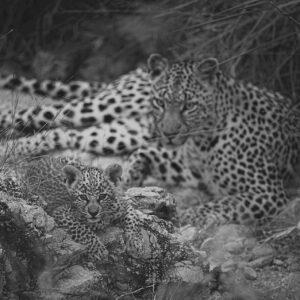 A Leopard's Den - wildlife prints