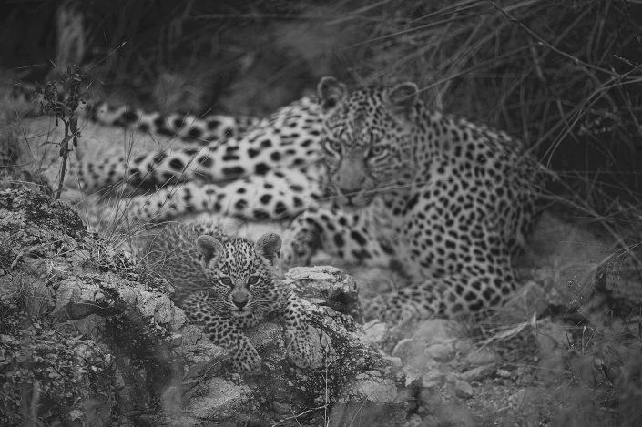 black and white wildlife prints -A Leopard's Den