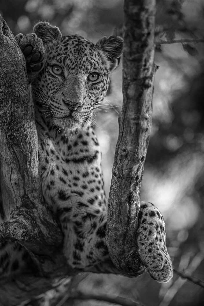 black and white wildlife photographer - Leopard Looking On