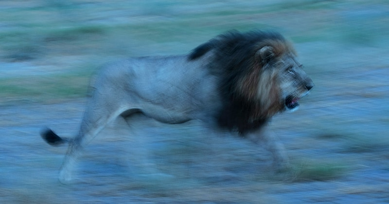 A lion on patrol - photographed on an Okavango Delta photo safari in Botswana, by African wildlife photographer Greg du Toit.