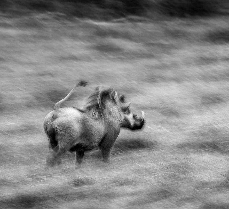 A warthog runs off - photographed on an Okavango Delta photo safari in Botswana, by African wildlife photographer Greg du Toit.