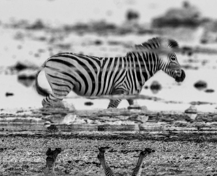 black and white wildlife photographer - Equine Reflections