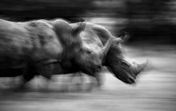 Running Rhinos - black and white wildlife art