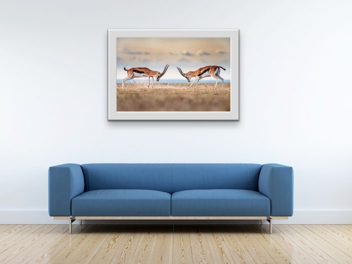 african wildlife fine art photography - gazelles fighting