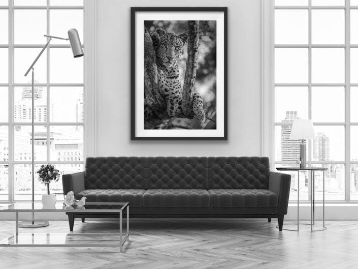 fine art wildlife prints - a black and white portrait of a leopard