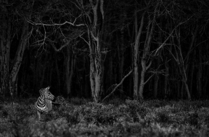 fine art black and white photography - zebra