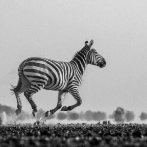 Galloping Zebra - panoramic wildlife photography