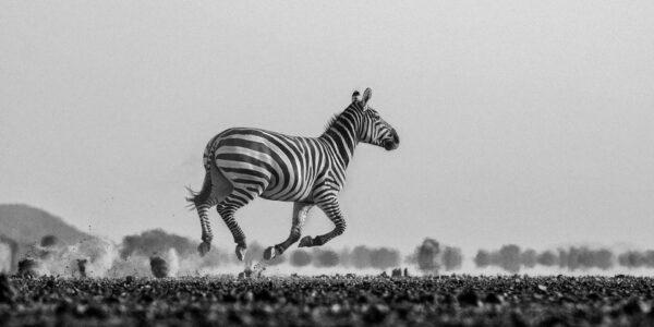 panoramic wildlife photography - Galloping Zebra