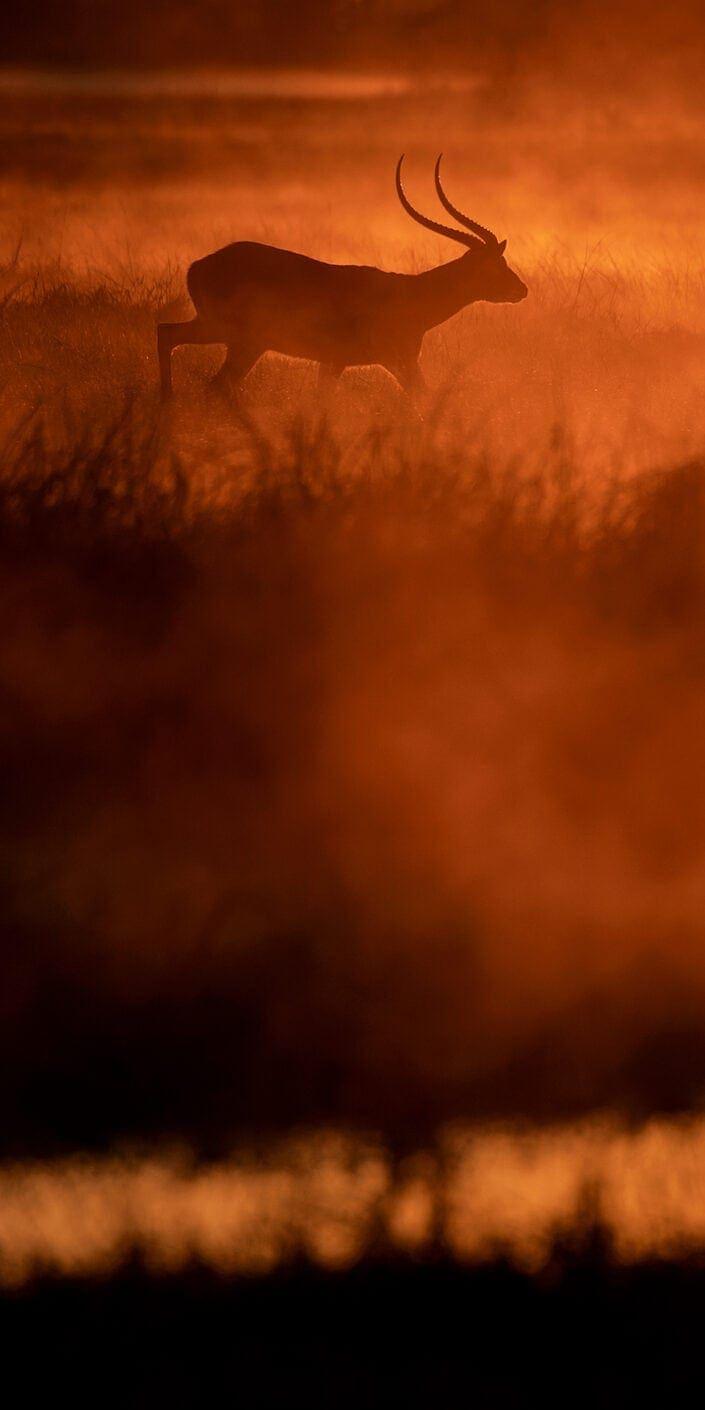 panoramic wildlife prints - Dawn Lechwe