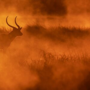 Busanga Gold - panoramic wildlife photography