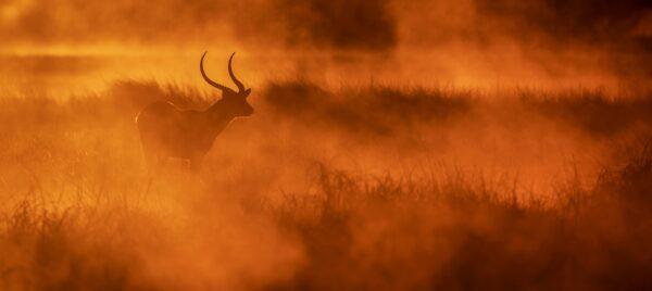 Busanga Gold - panoramic wildlife photography