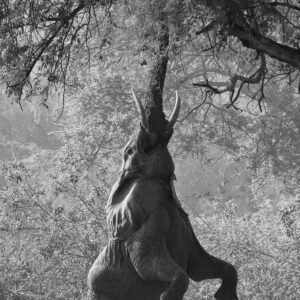 Elephant Reaching - online fine art wildlife gallery