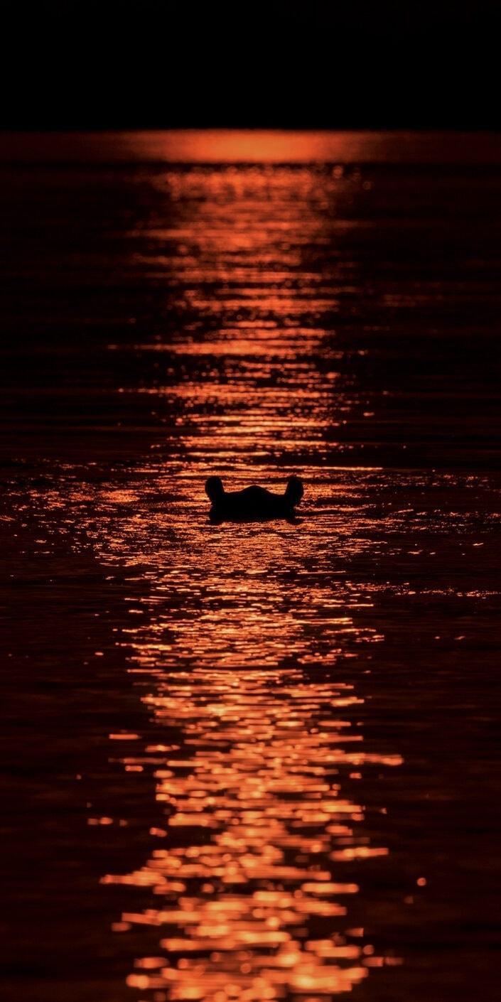 vertical panoramic wildlife prints - Hippo at Sunset