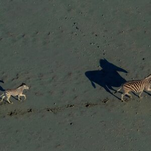 Makgadikgadi Zebra and Foal - fine art wildlife gallery