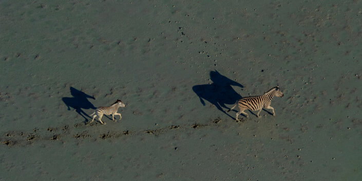 zebra pano - Makgadikgadi Zebra and Foal