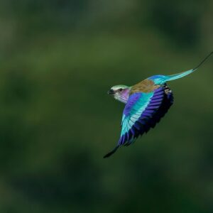Royal Roller - panoramic wildlife prints
