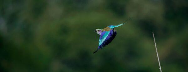 panoramic wildlife prints - Royal Roller