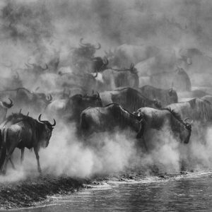 Great Migration - panoramic photography