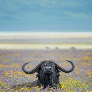 Ferdinand the Bull Buffalo - wildlife gallery online