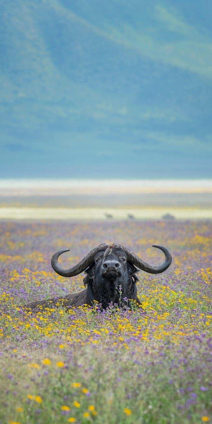 vertical wildlife pano - Ferdinand the Bull Buffalo