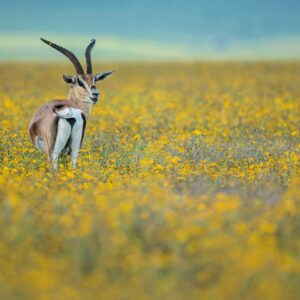Ngorongoro Gazelle - online wildlife gallery