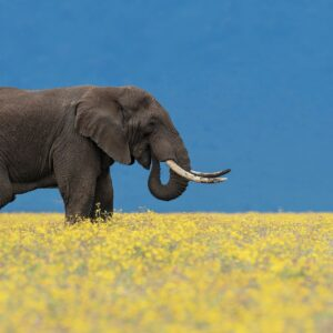 Fields of Gold - wildlife prints online
