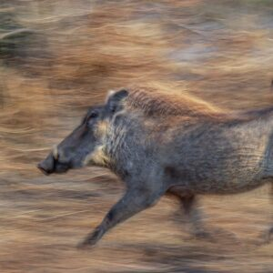 Warthog in a Hurry - online wildlife prints