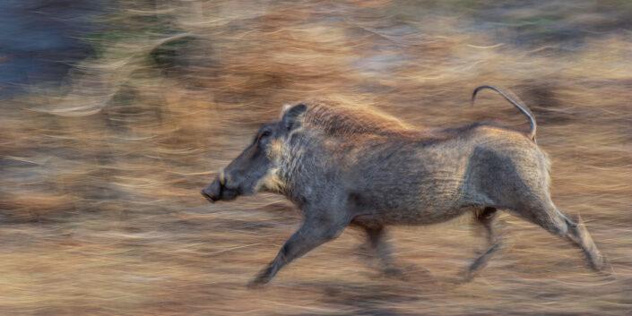 warthog pano - Warthog in a Hurry
