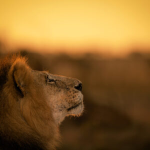 Golden Lion - african wildlife photography art