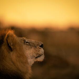 african wildlife photography prints - Golden Lion