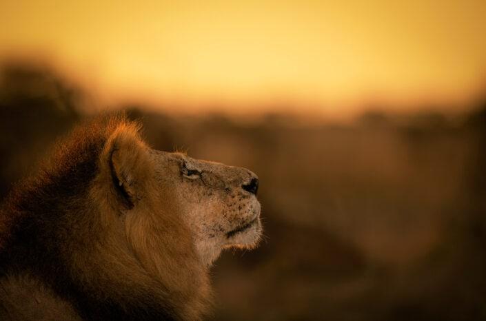 Golden Lion - african wildlife photography art