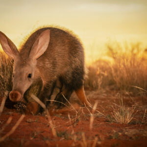Kalahari Aardvark - African wildlife photography art.
