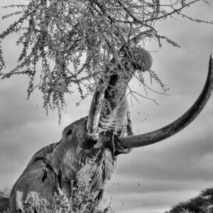 Beneath A Giant - fine art black and white photographers (Amboseli, Kenya)
