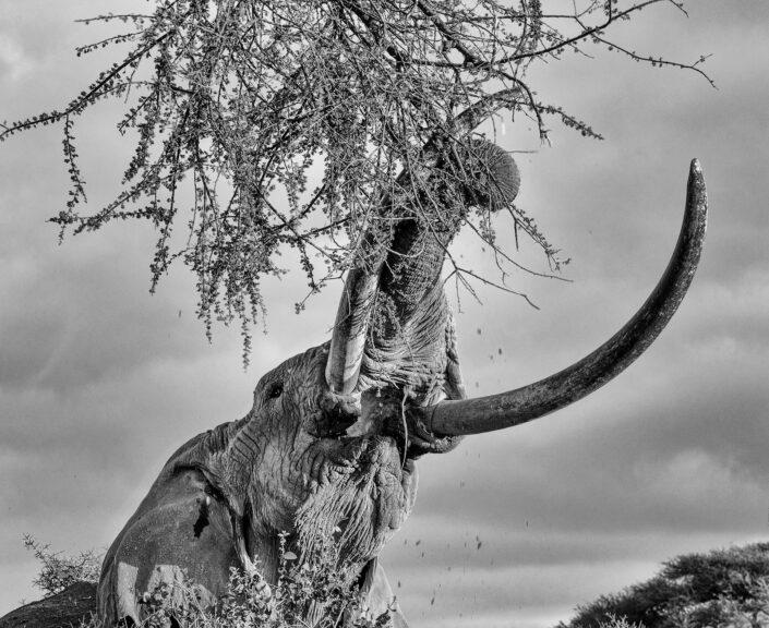 Beneath A Giant - fine art black and white photographers (Amboseli, Kenya)