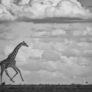 Galloping Giraffe - fine art BW wildlife photography (Amboseli, Kenya)