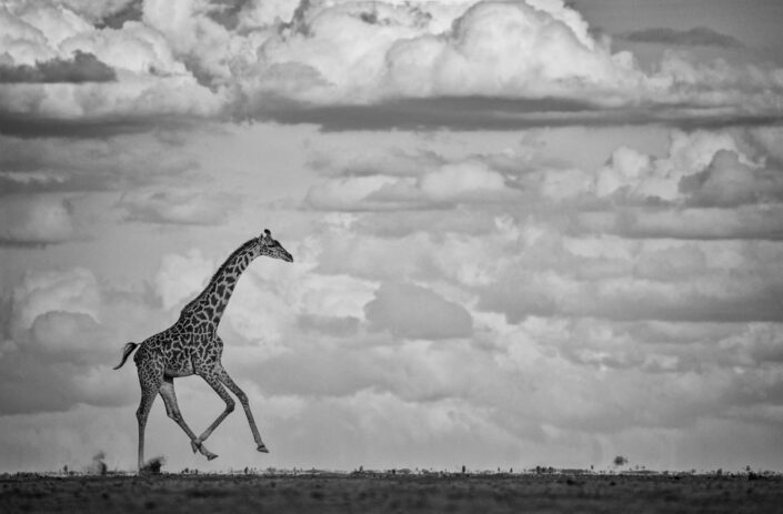 Galloping Giraffe - fine art BW wildlife photography (Amboseli, Kenya)