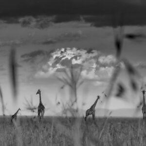 fine art black and white photographers - Giraffe Plains